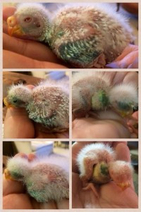 Baby Bourke's Parakeets at 6-9 days old.